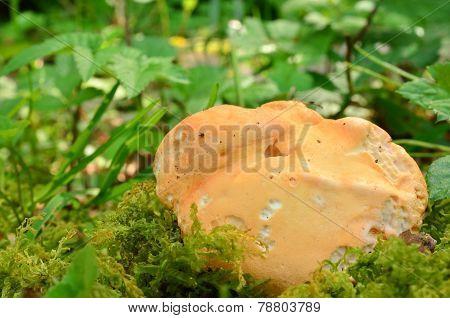 Wood Hedgehog Mushroom