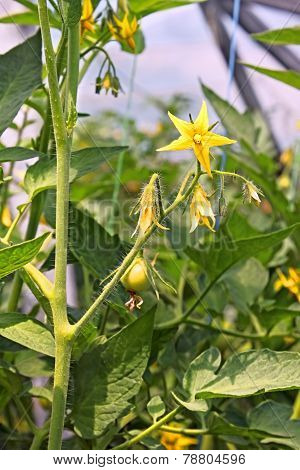 Flowering tomatoes plants
