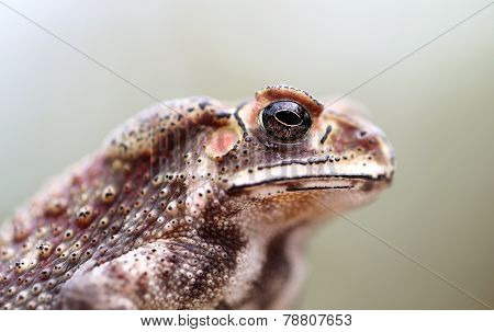 Photo Portrait Toad