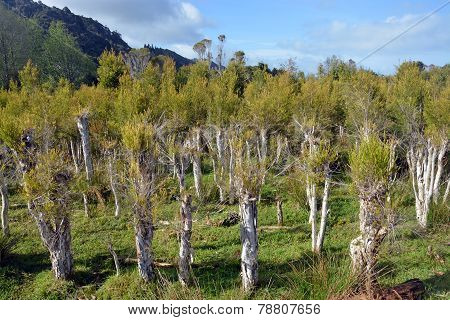 Tea Tree Plantation At Karamea, New Zealand.