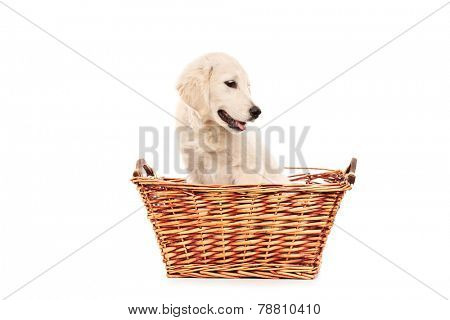 Little labrador retriever dog in a basket made by wicker posing isolated on white background