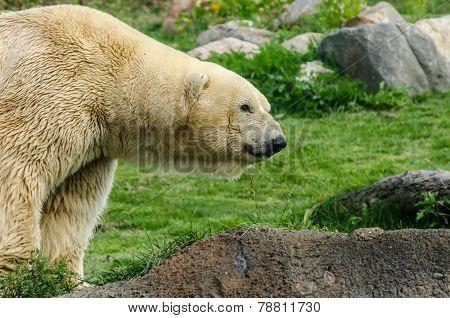Polar Bear Front Half