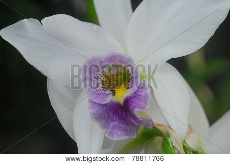 Purple White Cymbidium Orchid Flower