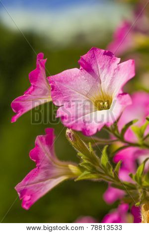 Pink petunias flowering in the home garden.