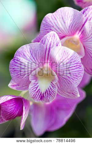 Orchid Flower (dendrobium).