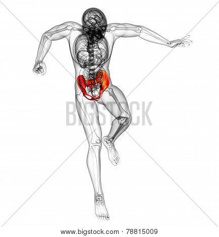 3D Render Medical Illustration Of The Hip Bone