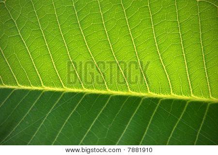 texture of leaf