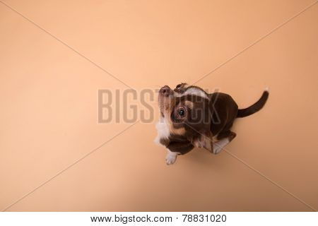 adorable Chihuahua puppy on beige  background