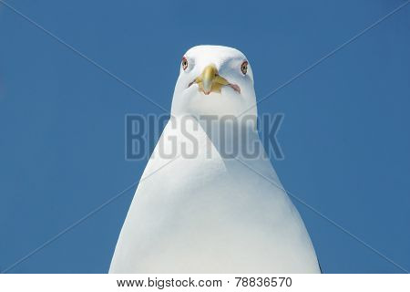 Head Of A Seagull.