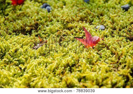 Fallen Red Maple Leave On The Green Liken
