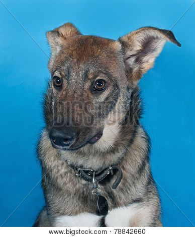Gray Dog With Collar On Blue