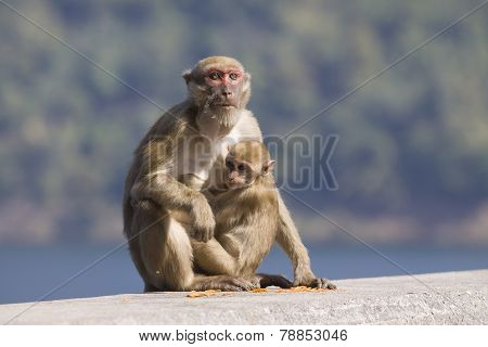 Wild Rhesus Macaque Monkey And Young Baby Looking To Monkey Mother Eating Some Food