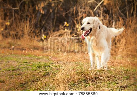Young Golden Retriever Dog