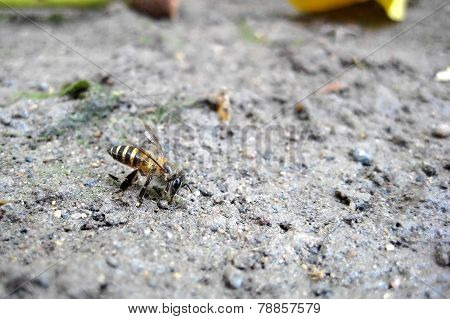 A bee on the ground