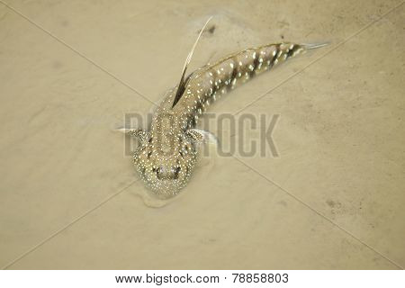 Portrait of a Blue Spotted Mud Skipper