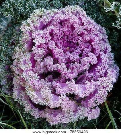Decorative garden cabbage covered with hoarfrost