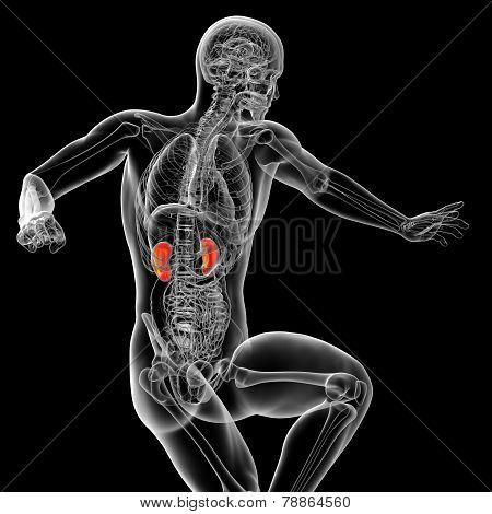 3D Render Medical Illustration Of The Kidney