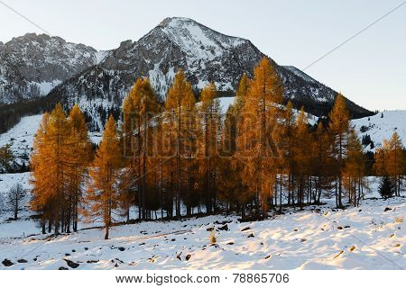 Yellow Larches Illuminated By The Morning Sun