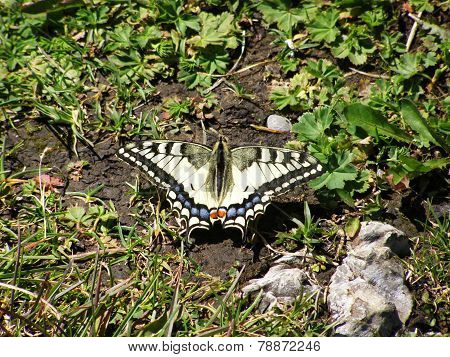 Swallowtail butterfly with spread wings