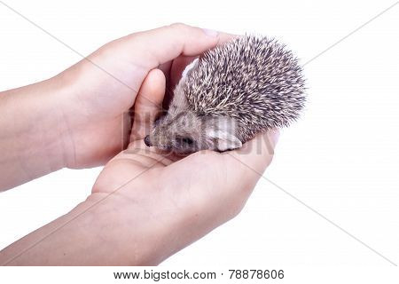 The little hedgehog in the hands