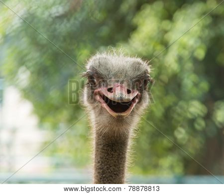Pattaya, Thailand - January 17, 2012: Ostrich in a zoo in Million Years Stone Park
