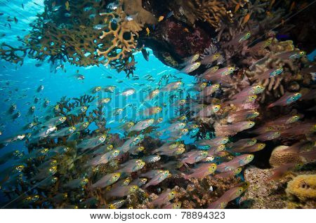 Shoal of Glassfish (Golden Sweepers) in clear blue water of the Red Sea,Egypt