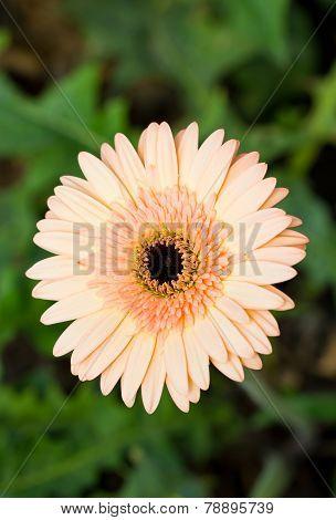 Gerbera Flower (beau).