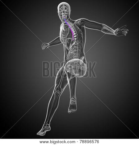 3D Render Medical Illustration Of The Esophagus