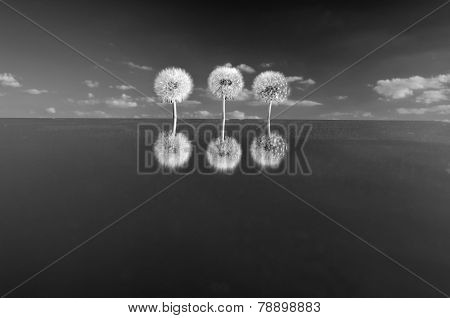 Three Dandelion Heads With Seeds On Mirror In Space. B & W Photos