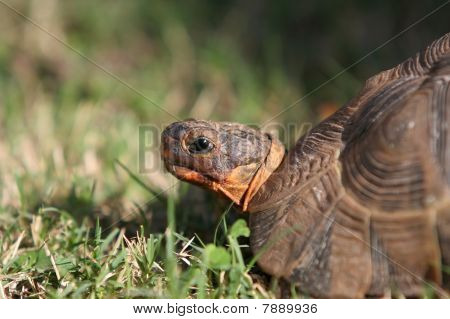 Angulate Or Bowsprit Tortoise