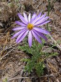 foto of xeriscape  - purple wild daisy - JPG