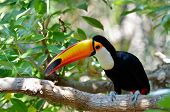 image of toucan  - toucan outdoor  - JPG