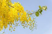 pic of cassia  - Beautiful yellow flower Golden shower  - JPG