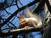 stock photo of walnut-tree  - squirrel on a pine tree - JPG