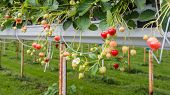 pic of cultivation  - Outdoor substrate cultivation of strawberries under plastic film on a for the pickers ergonomic height - JPG