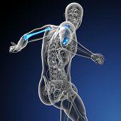 pic of humerus  - 3d render medical illustration of the humerus bone  - JPG