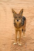 image of jackal  - A wild jackal in the namibian desert - JPG