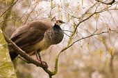 picture of peahen  - Female peacock or peahen sitting in a tree