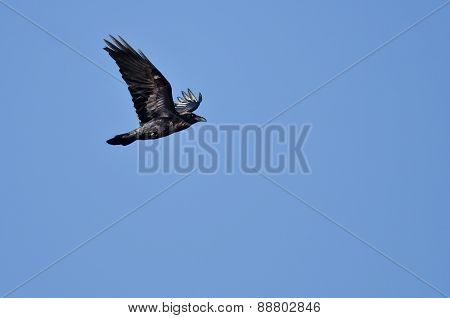 Black Common Raven Flying In A Blue Sky