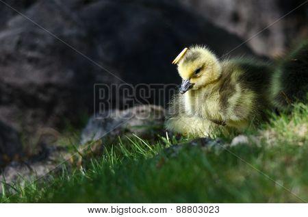 Newborn Gosling Wearing A Pine Needle Hat