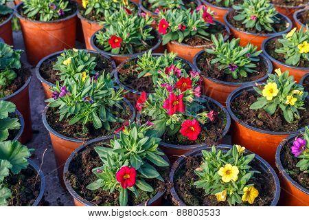 flower seedlings in pots