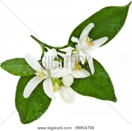 citrus blooming branch close up isolated on white