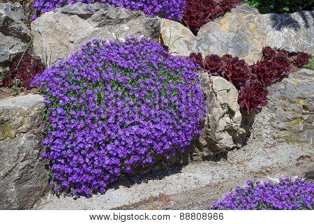 Purple aubrieta in a rock garden