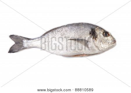 Raw And Clean Sea Bream Fish