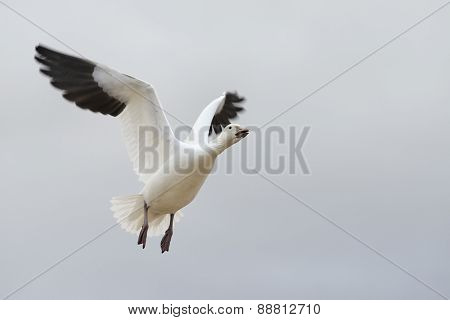 Close-up of Snow Goose Flying - Focus on Head