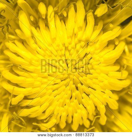 Taraxacum officinale, common dandelion