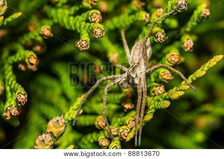 Spider Zoropsis spinimana