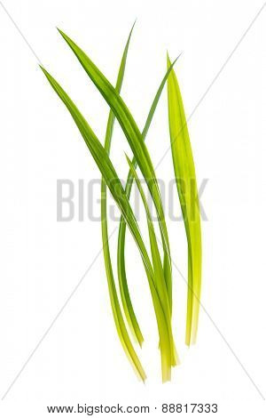 Fresh Pandan leaves isolated on white background, also known as Pandanus Palm , Fragrant Pandan , Pandom wangi.(Pandanus amaryllifolius)