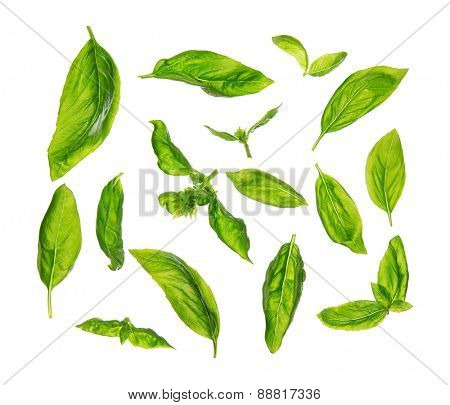 Top view scattered fresh sweet basil leaves, isolated on white background.