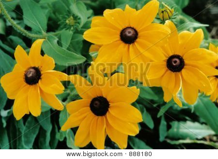 Black-Eyed Susans (Rudbeckia Fulgida)